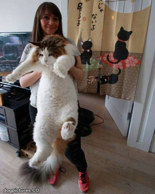 a huge fluffy cat