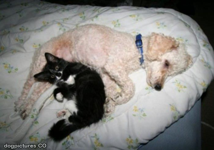 dog and cat napping
