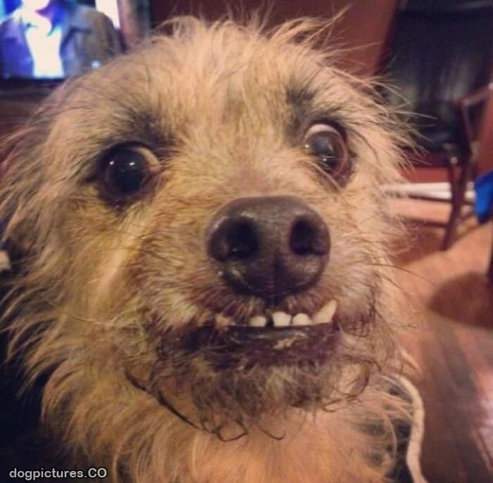 i am a scruffy dog   dog pictures