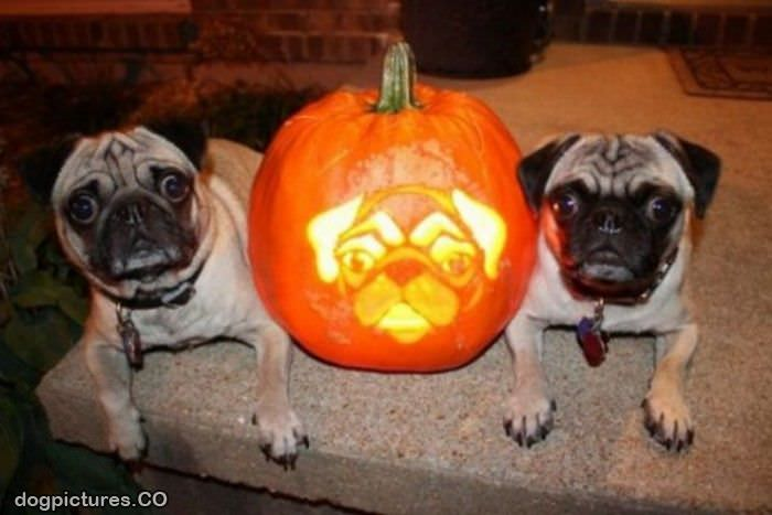 pug halloween   dog pictures